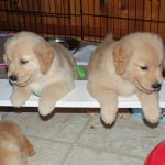 two puppies on plank